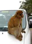Barbary Macaque 1