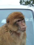 Barbary Macaque 2