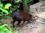 Asa Wright Nature Centre—Agouti