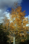 Yellow Aspen against blue skies—could be a red herring