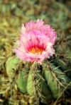 Cactus Flower2