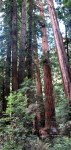The giant coast redwood