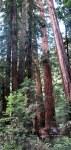 The giant coast redwood