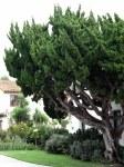 A tree with a twist