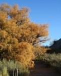 More Salt Cedar