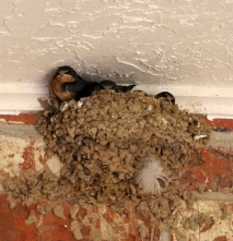 Momma Swallow and Babies