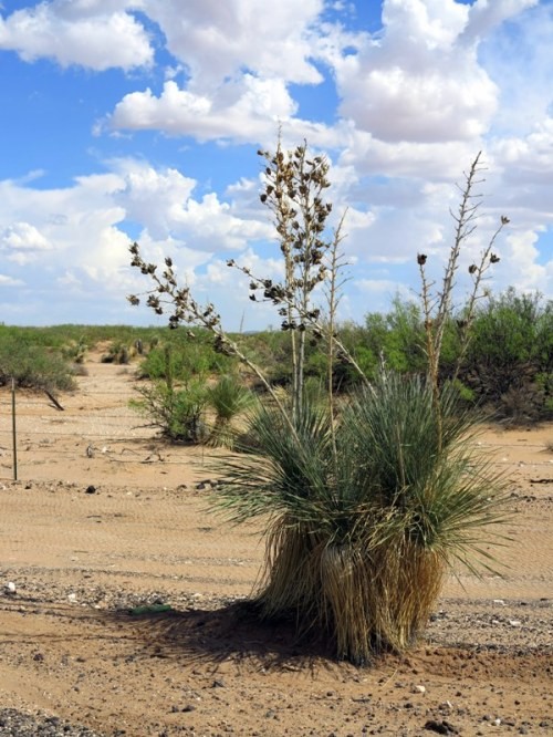 Desert Yucca Post-Bloom