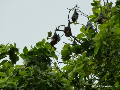 Samoan Flying Fox