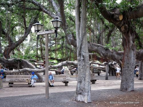 Lahaina Banyan Court Park — Banyan tree planted in 1873