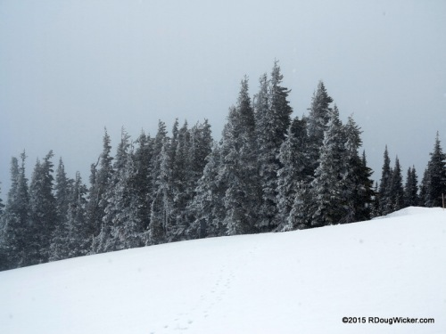 Snow Falling on Fir