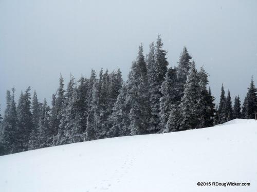 Snow Falling on Fir