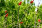 Flowering Ocotillo