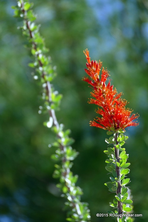 Ocotillo Red