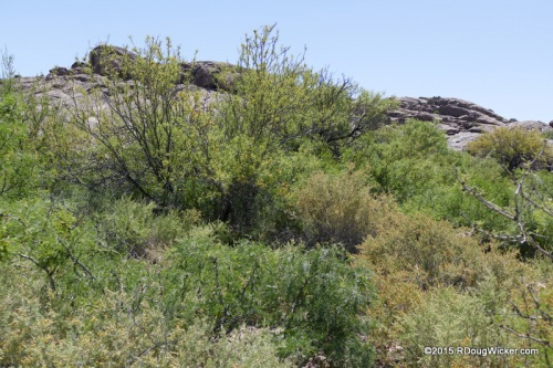 Hueco Tanks Trees