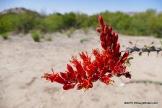 Ocotillo Flower