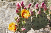 Prickly Pear Flowers