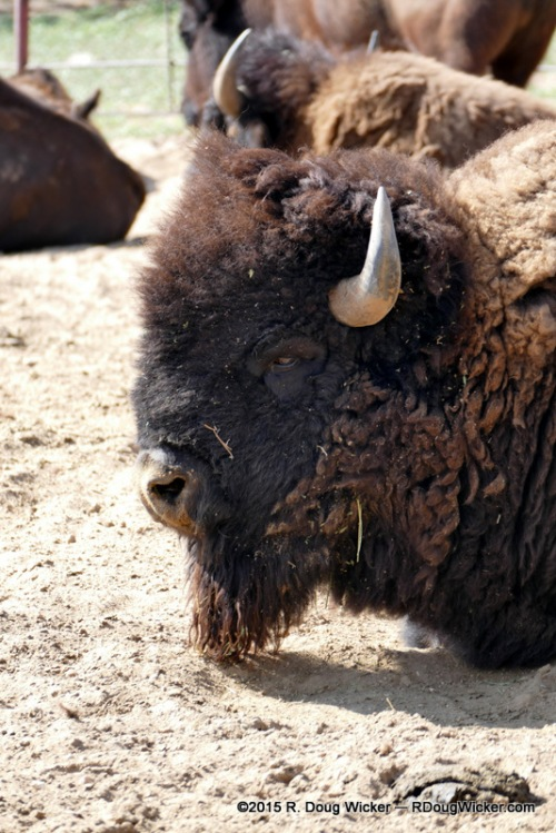 Posing for a Buffalo Head Nickel?