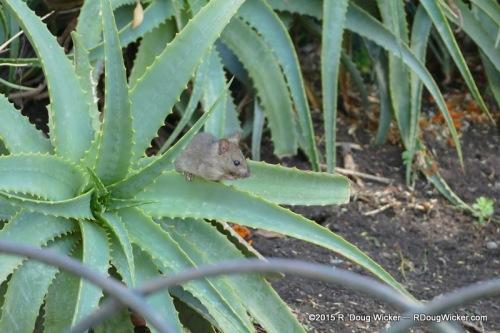 Santa Lucía mouse