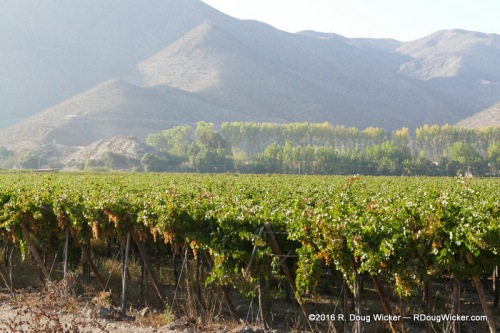 Growing grapes for Pisco