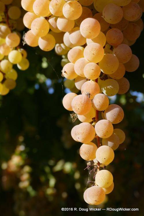 Pisco on the Vine