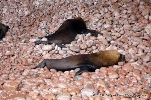 South American sea lions