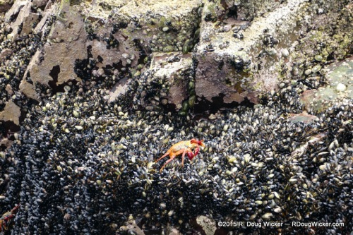 Red rock crab, a.k.a., Sally Lightfoot crab