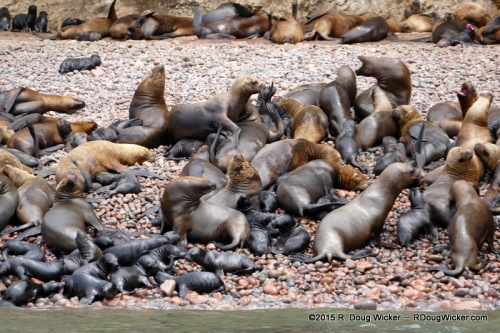 Sea lion moms and their pups