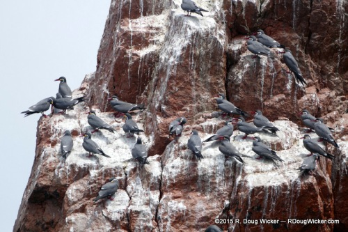 Red-Legged Cormorants