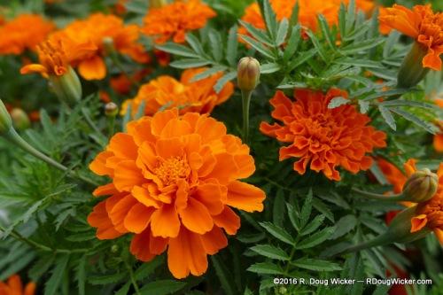 Lima Flowers