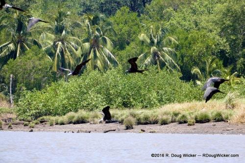 Frigatebirds