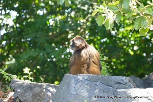 Spider monkey sunning on Monkey Island — is it Mickey, Mike, Peter, or Davy?