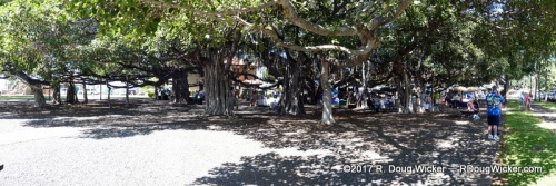 Largest banyan tree in Hawai'i — Shades ⅔ on an acre
