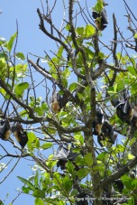 Samoa Flying Fox