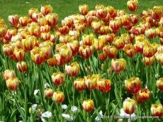 Istanbul Tulips