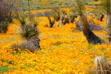 California Poppies in the Franklin Mountains